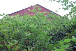 Blackberry jungle!
